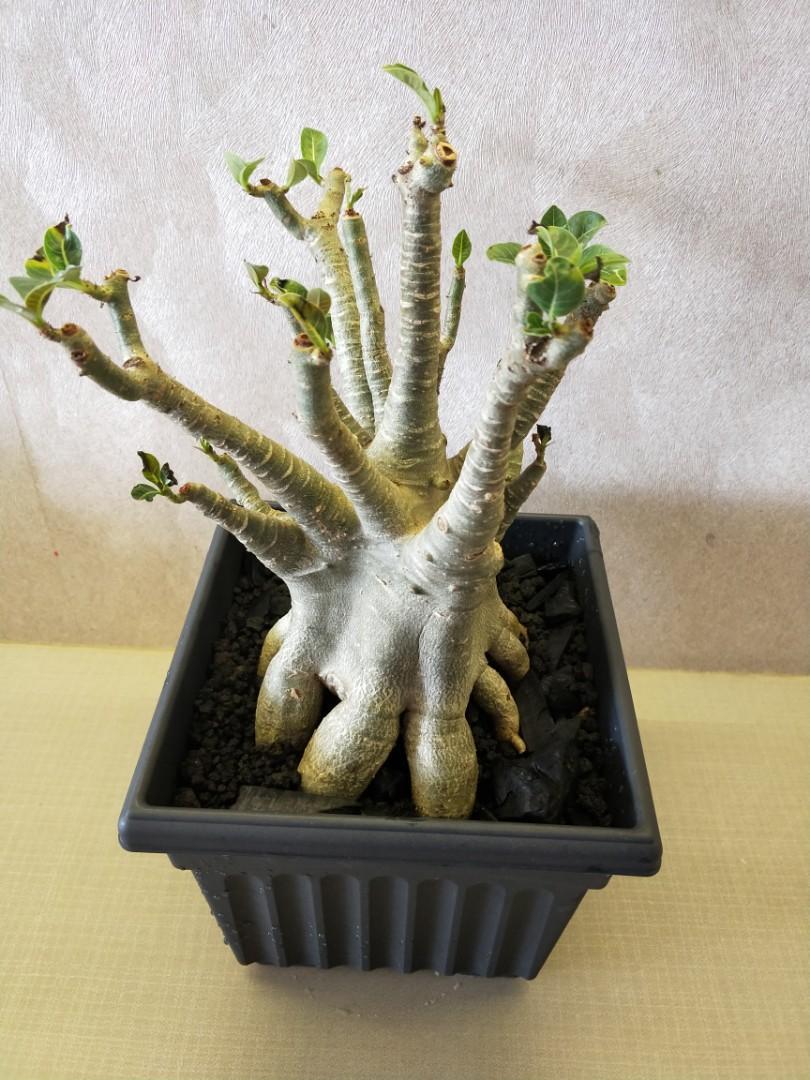 Adenium Arabicum set up root plant with pot for sale