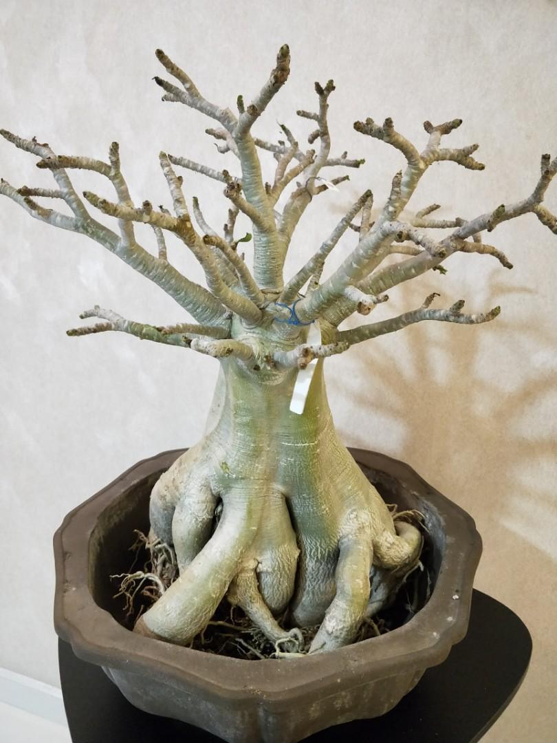 Beautiful root trained adenium socrotranum plant with pot for sale