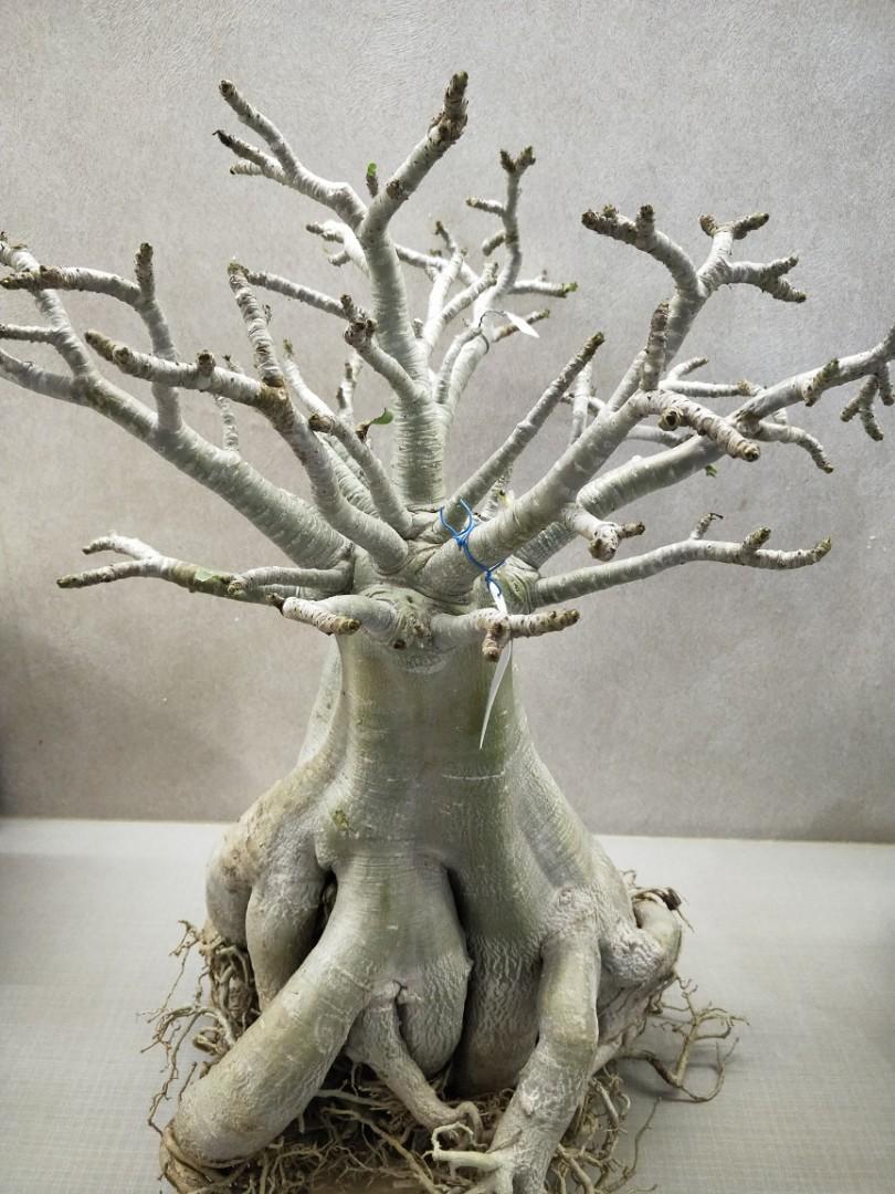 Beautiful root trained adenium socrotranum plant with pot for sale