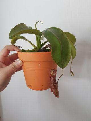 Nepenthes miranda with live sphagnum moss