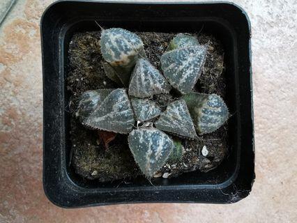 Succulent - Haworthia 3