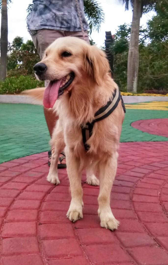 Jual Anjing Golden Betina Perlengkapan Hewan Aksesoris Hewan Di Carousell