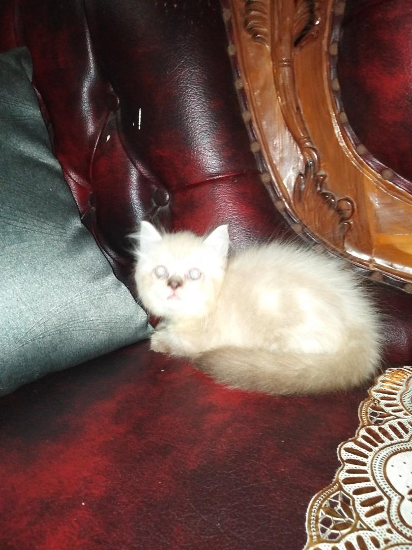 Ready adopt kitten persia ragdoll jantan