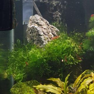Subwassertang/Pellia moss for planted shrimp or fish tank