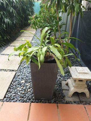 Pair of Queen of the Night Kheng Hway TanHua plants