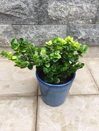 1 pot of Fortune Money Plant