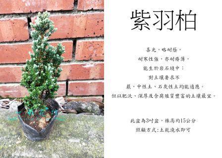心栽花坊-紫羽柏/3吋/松杉柏檜/綠化植物/綠籬植物/售價160特價140