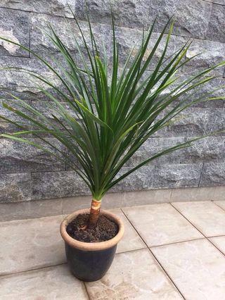 1 pot of beautiful plant