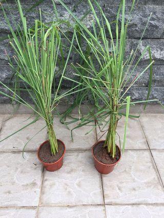 2 pots of lemon grass