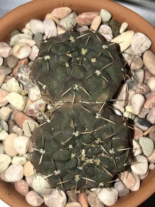 Gymnocalycium Ochoterenae 2 Heads