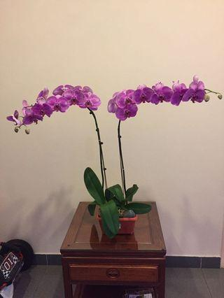 Lovely Phalaenopsis orchids