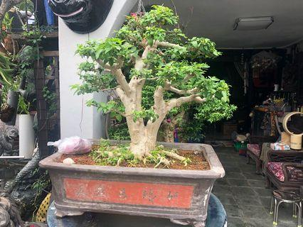 🚚 Large Shui Mei Bonsai