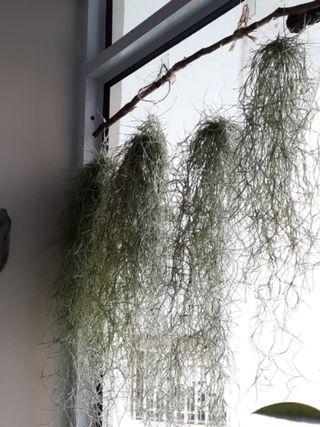 🚚 Spanish Moss