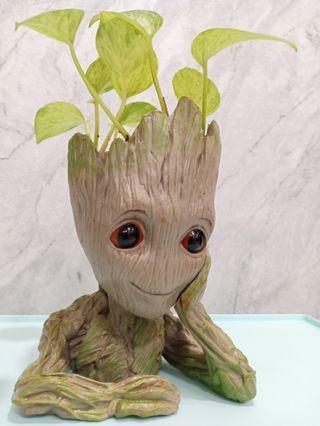 Groot pot money plant