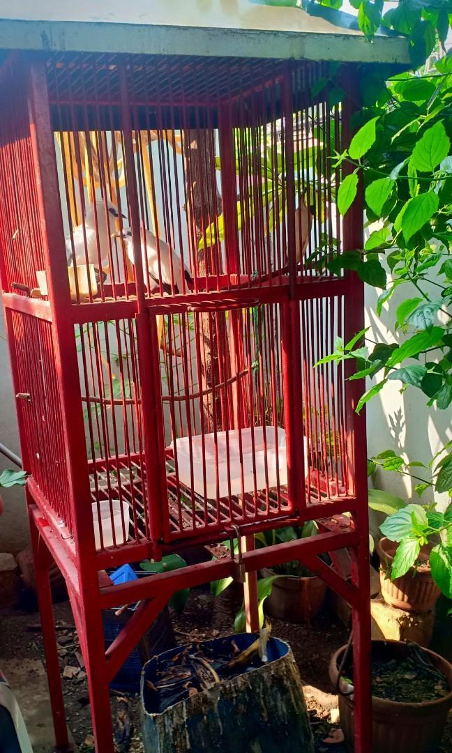 830+ Gambar Burung Jalak Bali Betina Terbaik