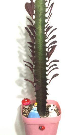 Euphorbia Trigona Rubra succulent Cathedral cactus African Milk Tree plant garden collection tall slender elegant A gift that lasts Teacher's Day Children's Day Birthday