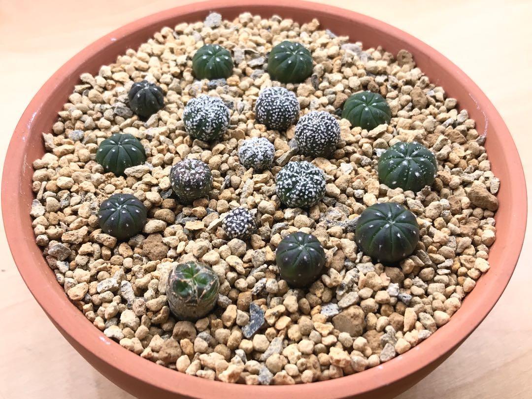 Astrophytum Seedlings (kiko superkabuto)