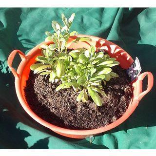 Potted Dwarf Stock Plants