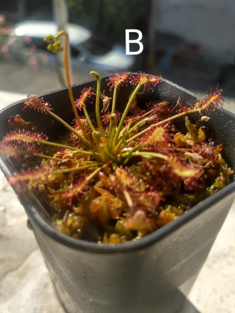 Drosera Intermedia (tanaman pemakan serangga)