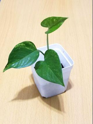 黃金葛植物🌺🌺Lechuza Quadro Plant #MTRtw #MTRssp #MTRmk