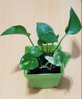 黃金葛植物🌷🌷Lechuza Quadro Plant#MTRtw #MTRssp #MTRmk