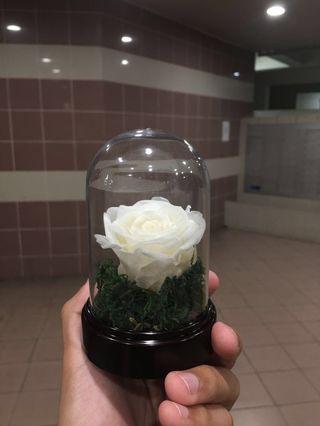 Mini Preserve Rose in dome