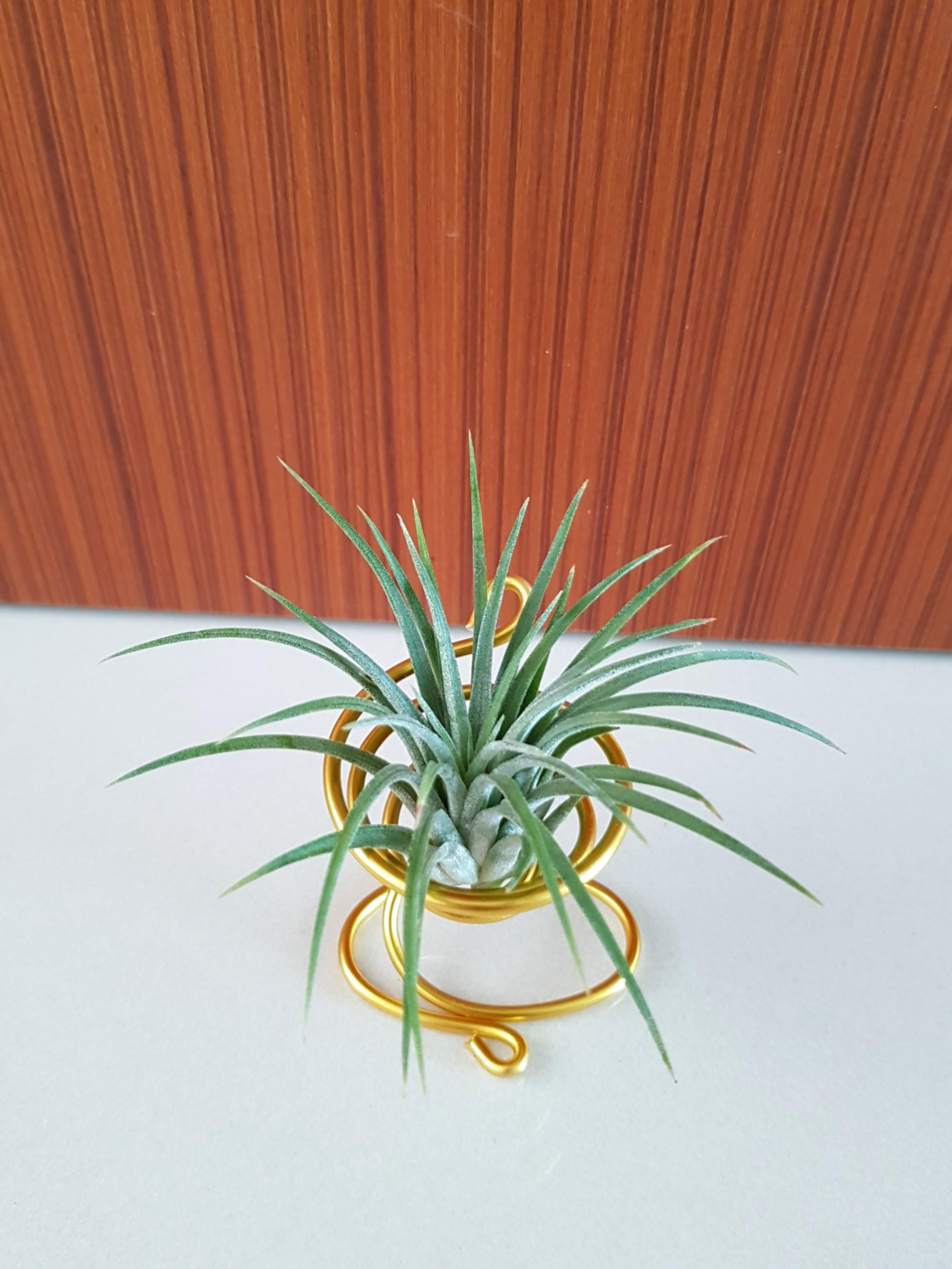 Air Plant for office farewell gift!