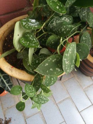 Silver pothos or money plant