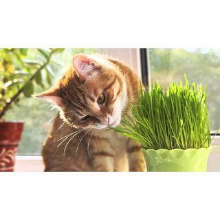 Rumput gandum makanan kucing