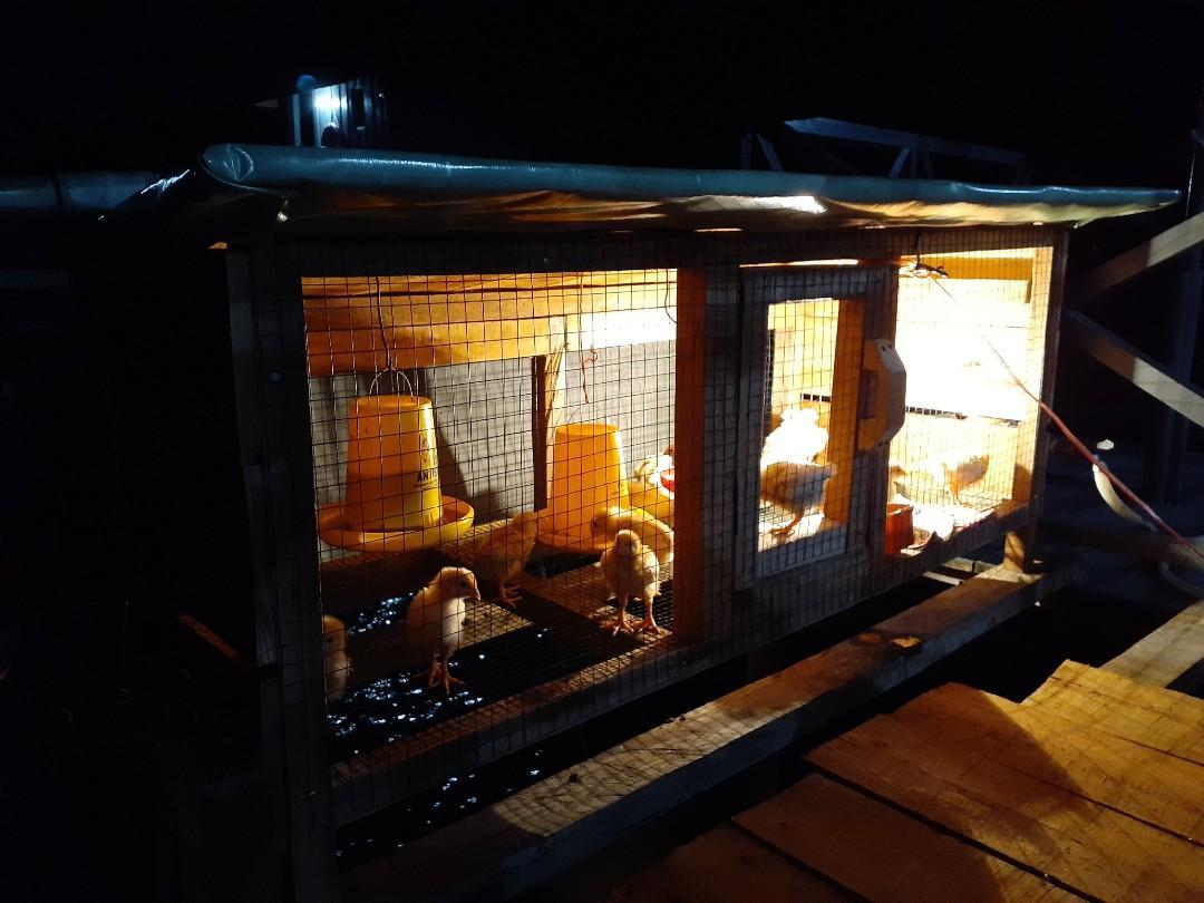Jual ayam anakan buat belajar usaha berternak ayam petelur