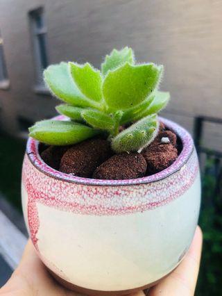 Succulent Bear Paw in a ceramic pot