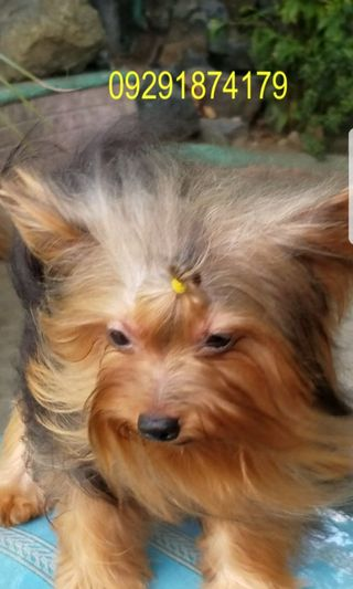 Yorkshire Terrier Pets Supplies Carousell Philippines