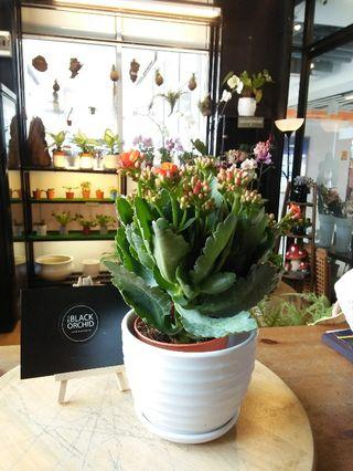Kalanchoes Indoor Real Live Flowers Plants Pokok Cantik