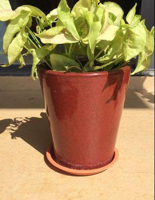 Lovely Indoor/Shade Plant in Ceramic Pot with Saucer