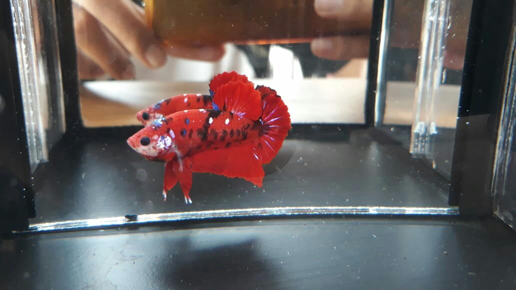 Ikan Cupang Plakat Red Koi Galaxy Perlengkapan Hewan Aksesoris Hewan Di Carousell