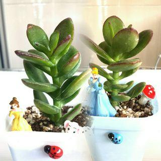 Succulent Jade plant red tip mini tree cactus garden gift can customise birthday teacher's day