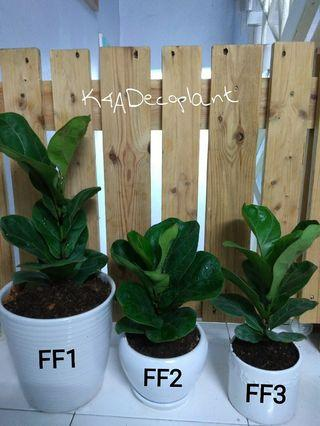 REAL FIDDLE FIG