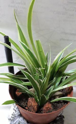 🚚 Spider Plant