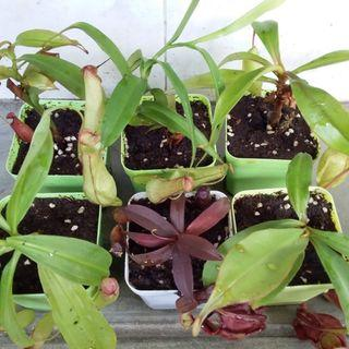 Lowland beginner nepenthes for sale