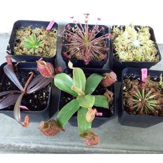 Drosera petiolars complex sundew and nepenthes for sale