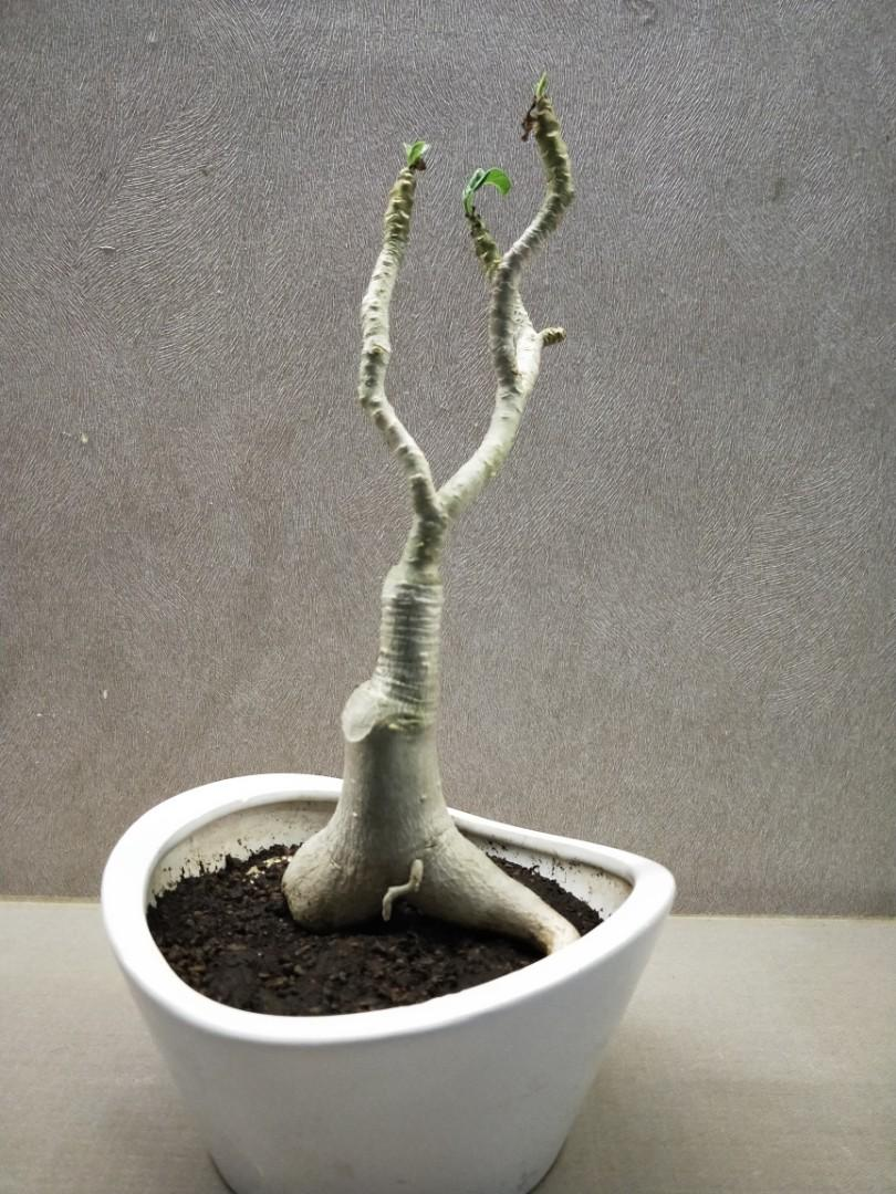 Adenium with pot for sale