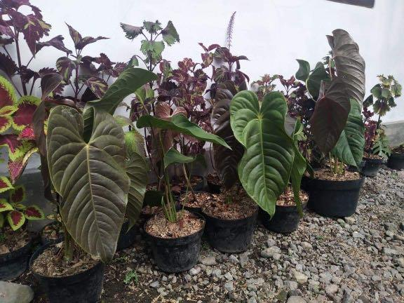 Preorder For Anthurium Chamberlainianum Gardening Plants On Carousell