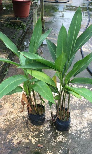 Heliconia Golden Torch 3-3.5ft H