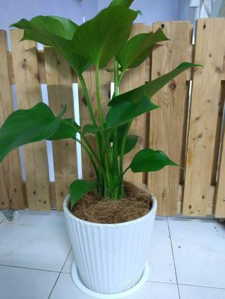 Money plant and Philodendron