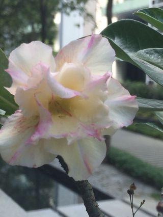 Adenium/desert Rose