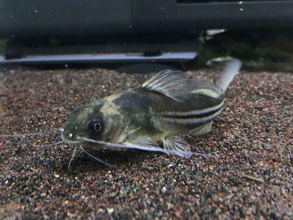 水族寵物 小鯰魚
