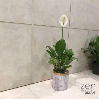 Spathiphyllum [Peace Lily]