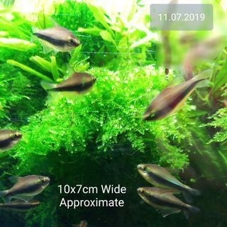 LUSH HighGrade NOT ĹOOSE FORM (Christmas Moss is not) GENUINE Anchor Moss Patch for Shrimp Tank Planted Aquarium Bonsai Tree (Healthy n Beautiful hard to find)NO CHEMICAL N FERTILIZER SAFE FOR SHRIMPS