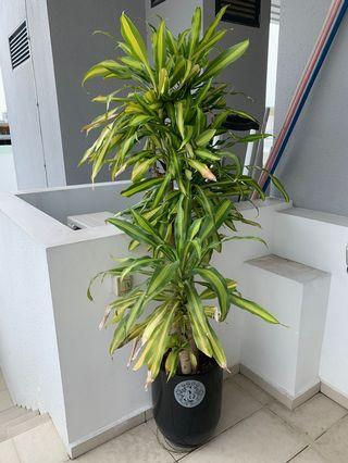 Iron Plant (Dracaena Fragrans)
