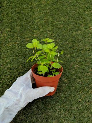Herbs: Mint Plant *(3 for $12)